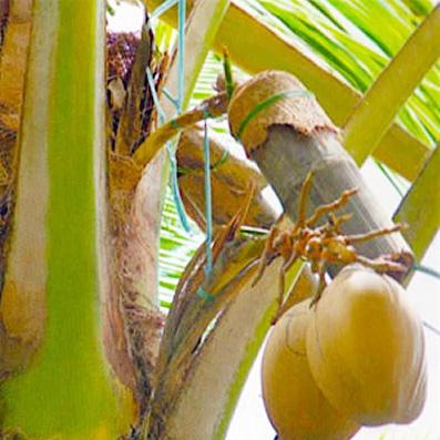 coconut sugar made